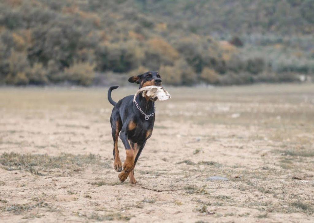 Vanlife mit Hund: Unser Dobermann Hank